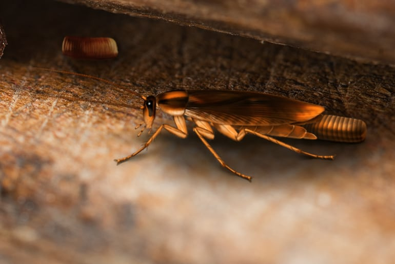 German cockroach laying eggs in dark crevice where another cockroach ootheca is about to hatch.