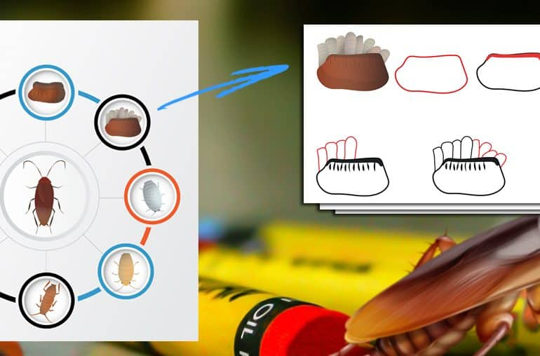 Draw a Cockroach Life Cycle