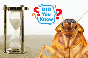 How long can a cockroach live without its head?