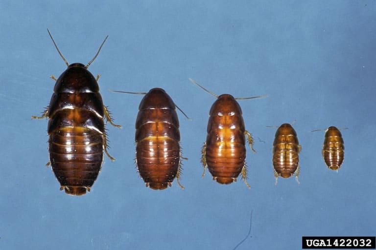 Oriental cockroach nymph & life cycle (Blatta orientalis)
