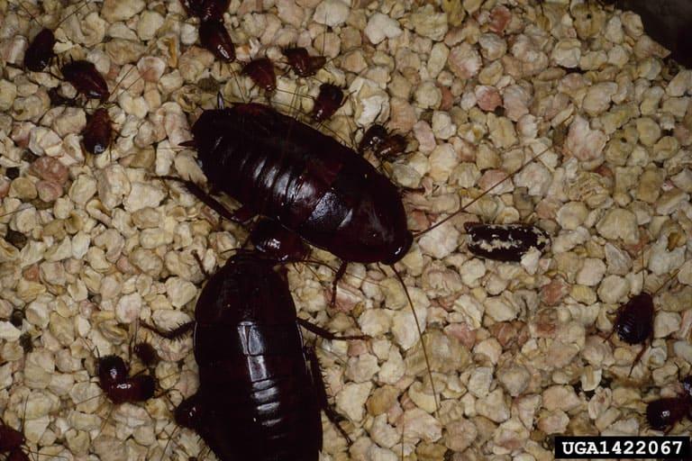 Oriental cockroach adult and nymph (Blatta orientalis)