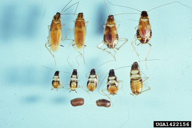 Brownbanded cockroach nymphs, eggs, adults in life cycle (Supella longipalpa)