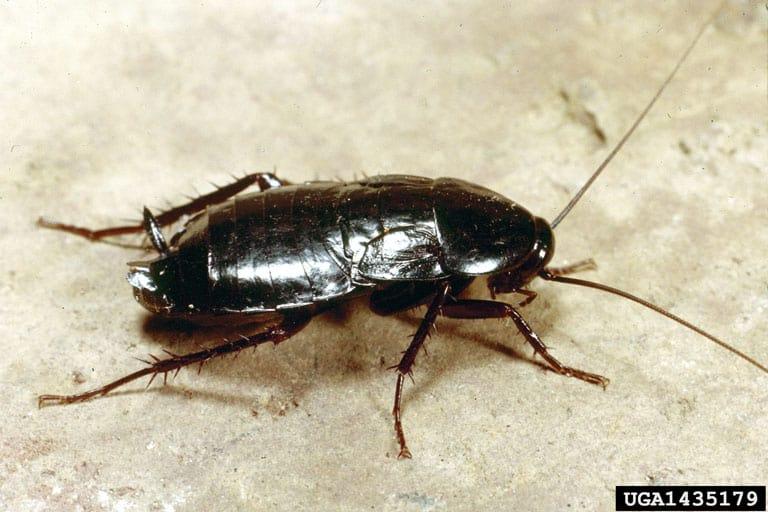 Oriental cockroach nymph (Blatta orientalis)