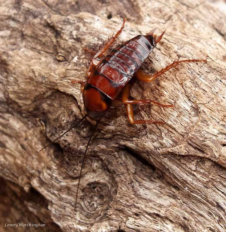 American Cockroach nymph