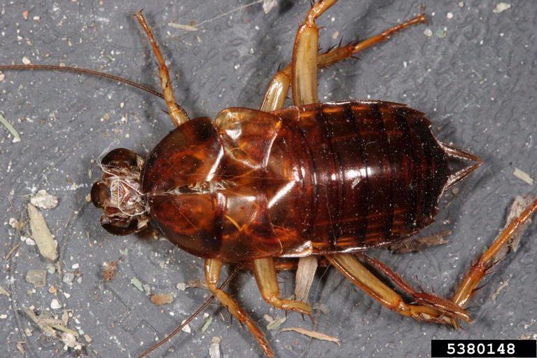 American cockroach nymph (Periplaneta americana)