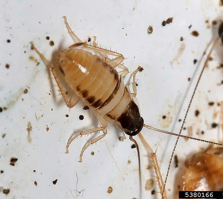 Brownbanded cockroach nymph closeup (Supella longipalpa)