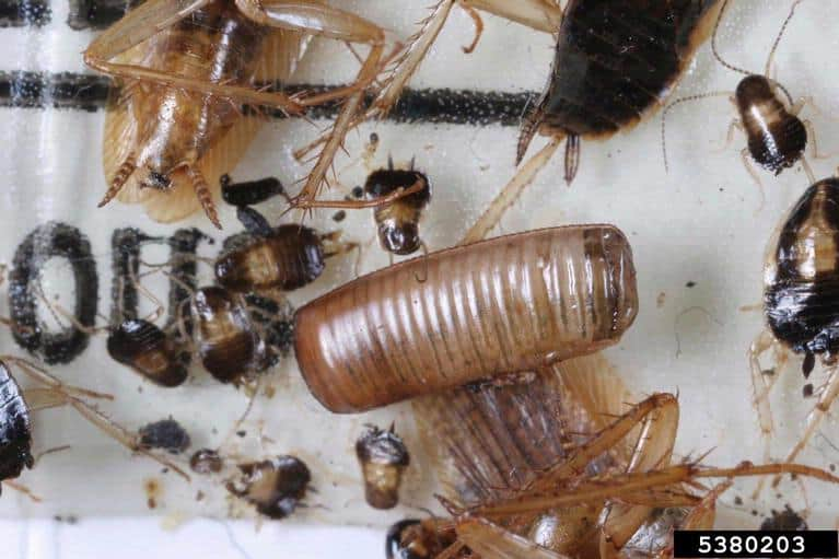 German cockroach nymph and egg sac (Blattella germanica)