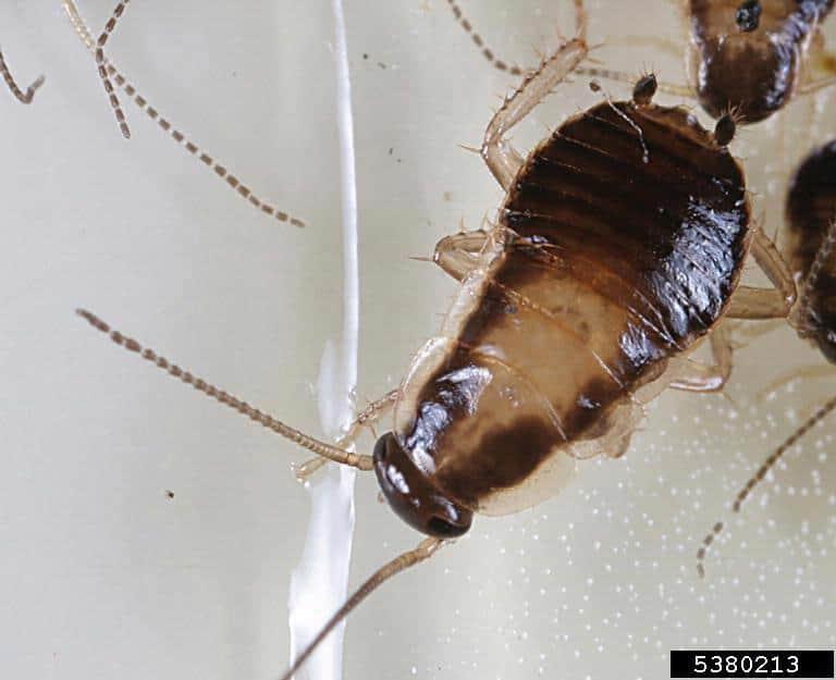German cockroach nymph (Blattella germanica)