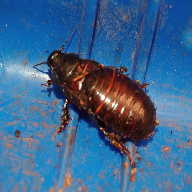 Australian cockroach nymph (Periplaneta australasiae)