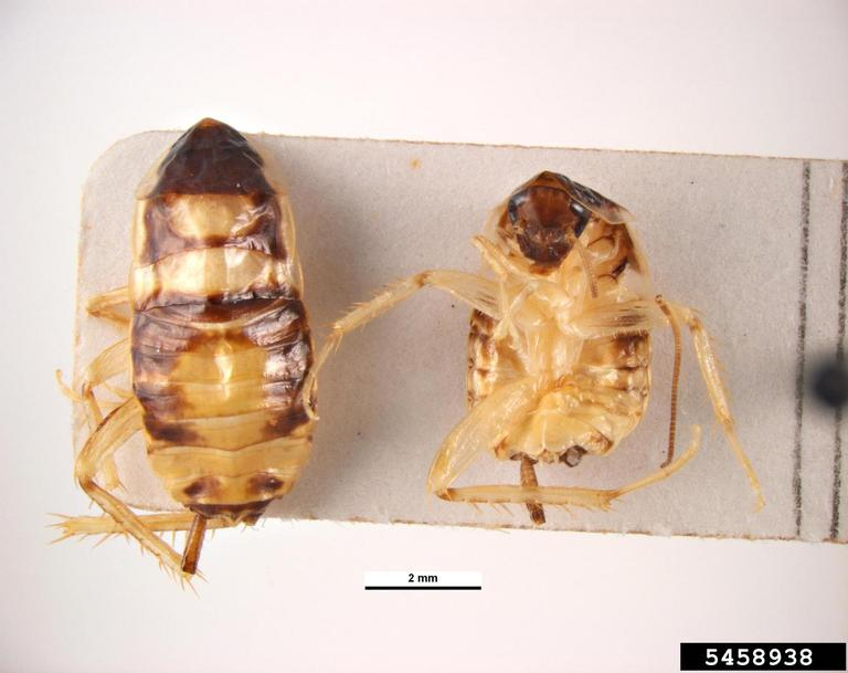 Brown banded cockroach nymphs, top and bottom views (Supella longipalpa)