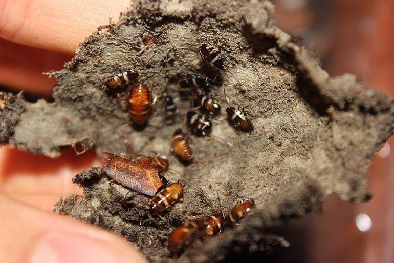 SmokyBrown cockroach nymph (Periplaneta fuliginosa)