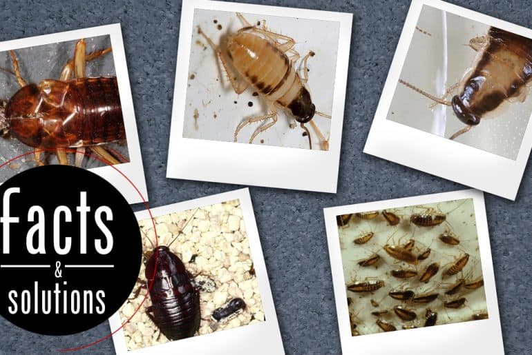 Baby Roach Pictures: 5 photos depicting cockroach nymphs