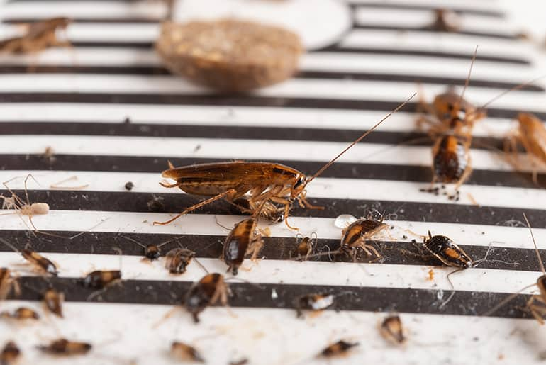 Lots of cockroaches, adults and babies