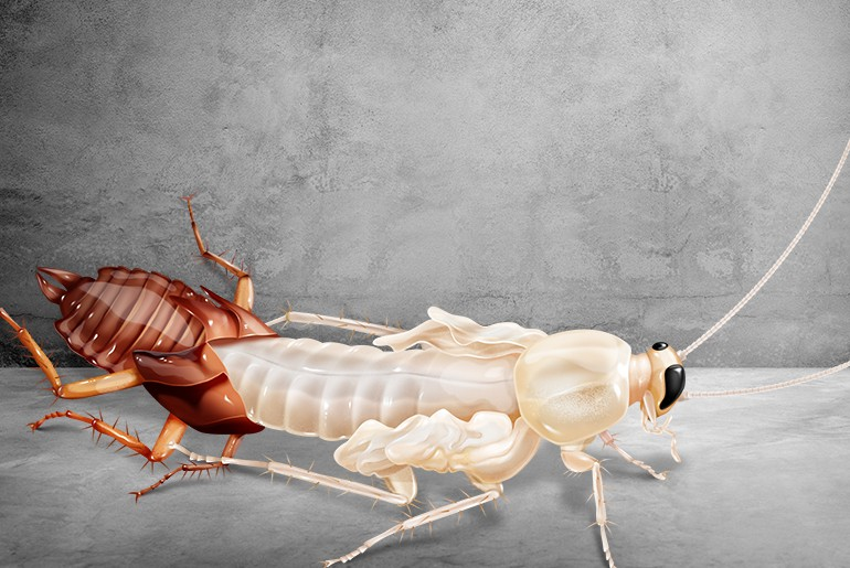 Molting cockroach: A soft, white cockroach emerges from its discarded exoskeleton.