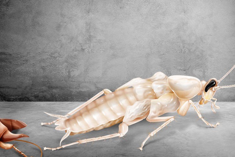 Molting white cockroach leaves its old exoskeleton far behind.