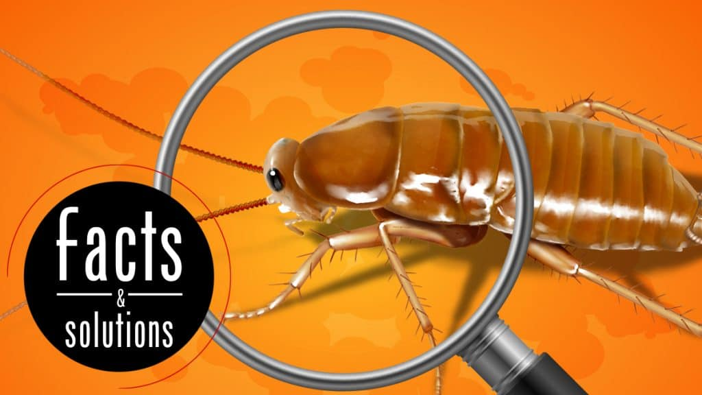 What do baby roaches look like header: Baby american roach under a magnifying glass