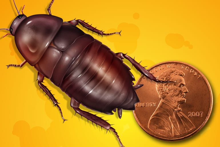 Florida Woods Cockroach compared to the size of a penny