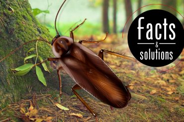 Pennsylvania Wood Cockroach Illustration: Male roach illustration over forest background