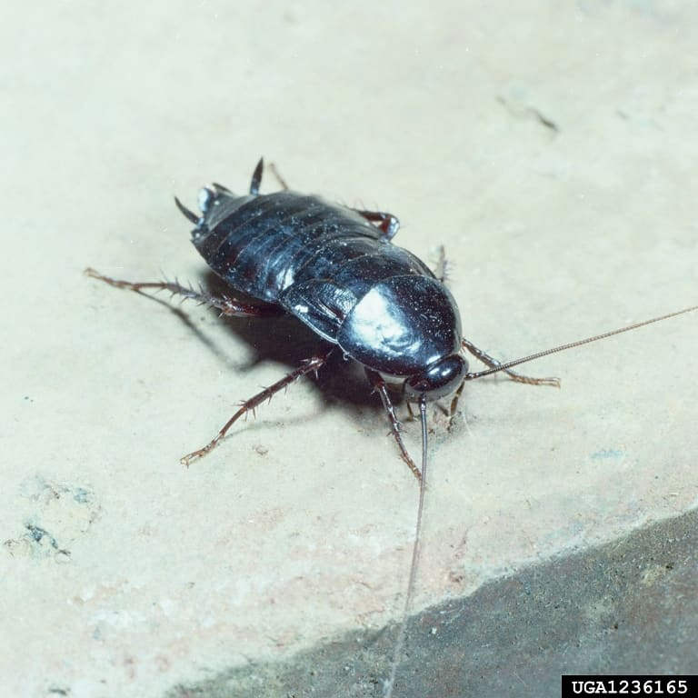 Oriental cockroach front view