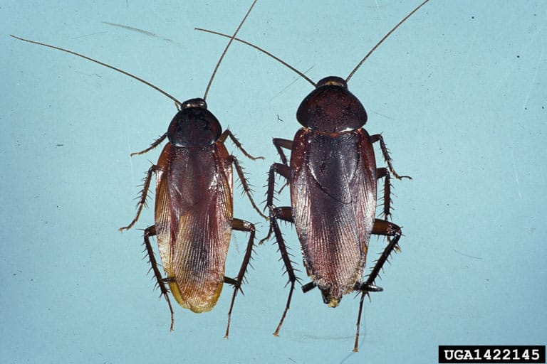 Pair of SmokyBrown cockroaches, male on left. Female on right.