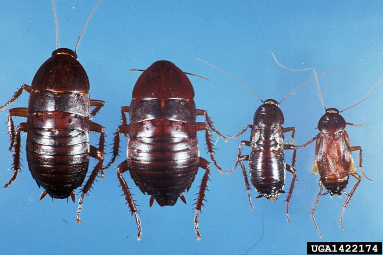 Oriental cockroach life stages