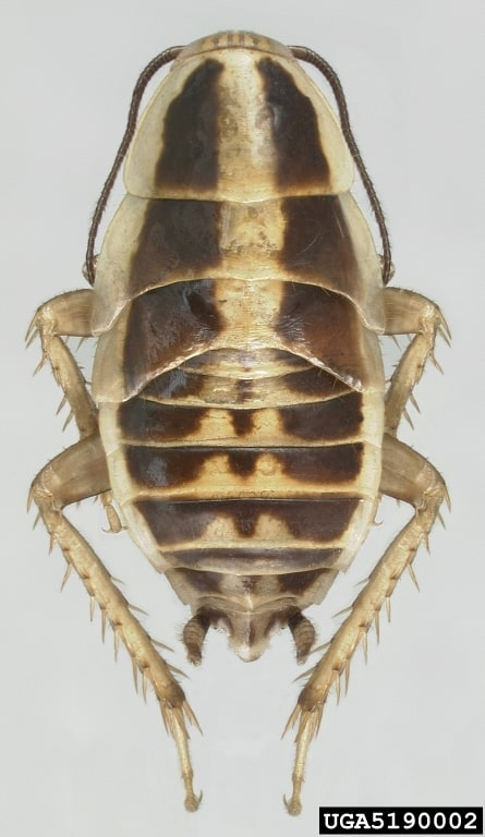 Asian cockroach (Blattella asahinai)