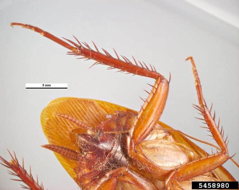 Underside of Australian cockroach