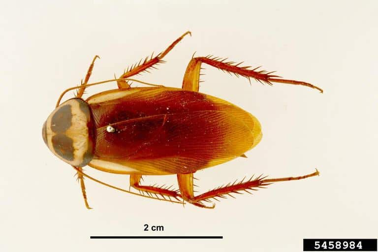 Adult Australian cockroach, top view