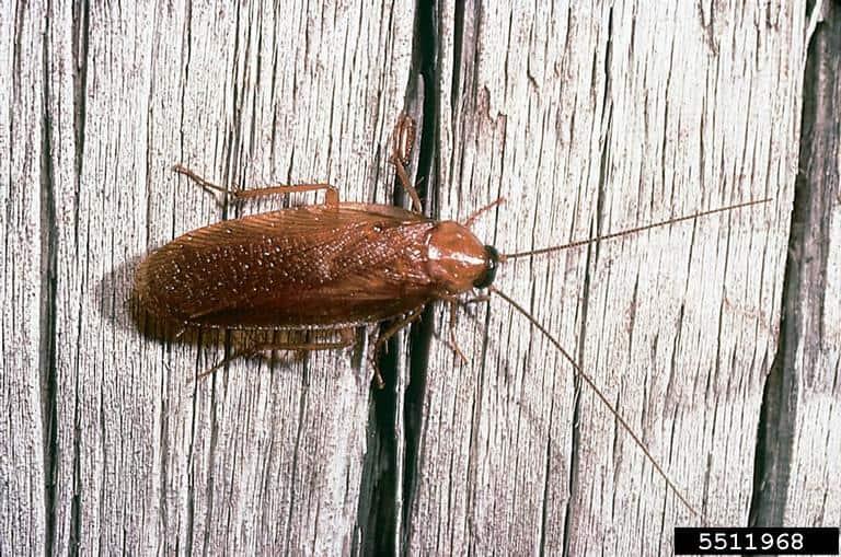 Wood roach (Parcoblatta bolliana)