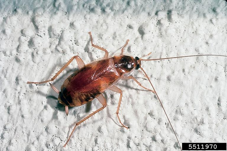 Brownbanded cockroach (Supella longipalpa) adult