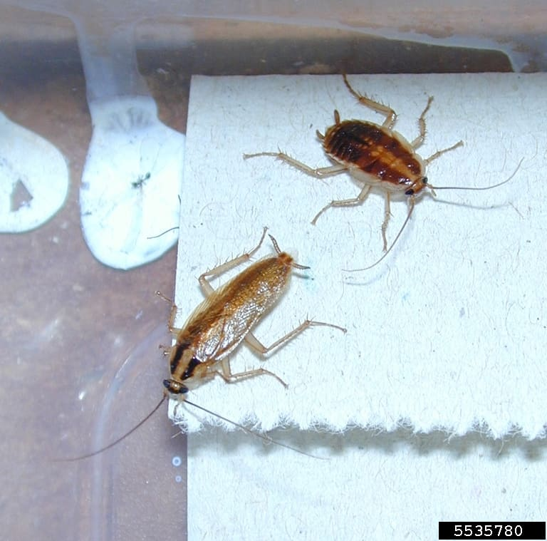 German cockroach adult and nymph