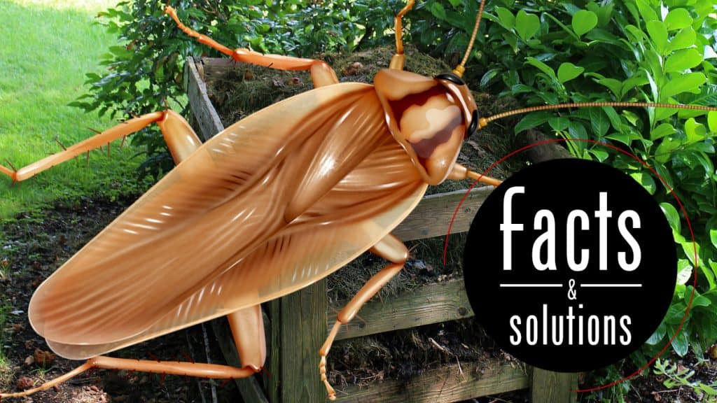 "Asian cockroach illustration, words read"" Facts & Solutions"
