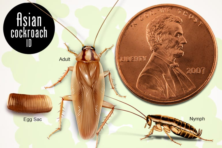Asian cockroach adult, nymph,and egg case relative in size to a penny