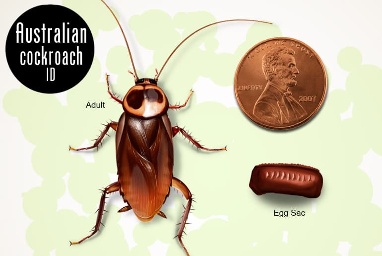 Australian cockroach, adult and egg case compared to a penny
