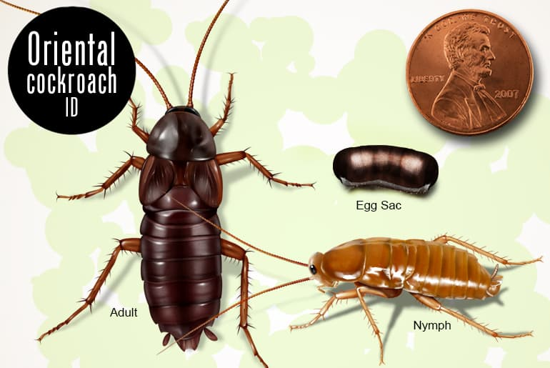 Oriental cockroach identification: adult, nymph and egg capsule beside penny for scale
