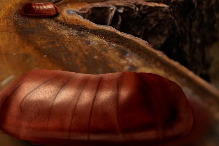 Illustration of Pennsylvania wood cockroach egg sacs on a tree stump