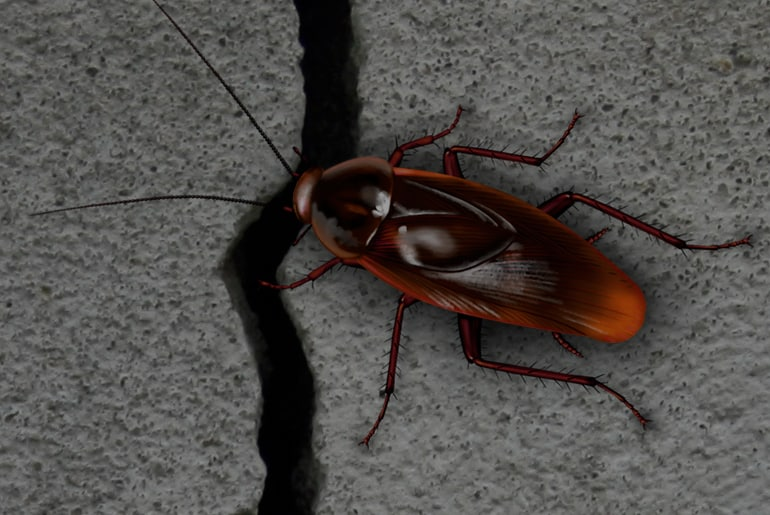 Illustration: Smokybrown cockroach entering home through crack in foundation