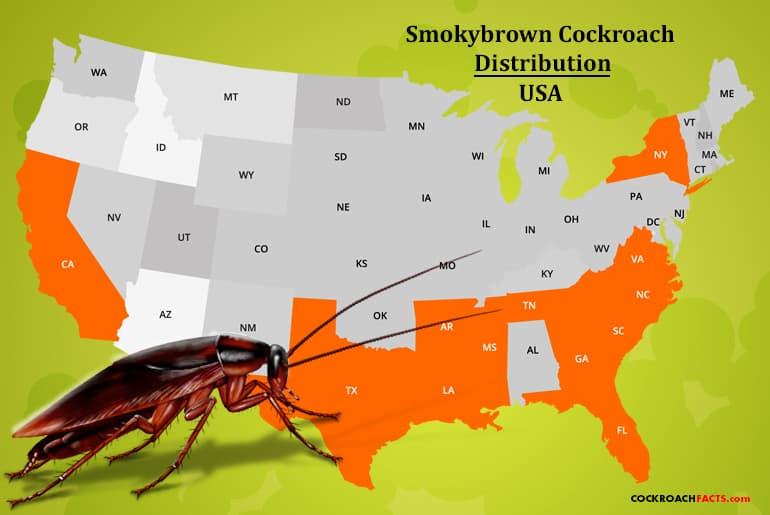 Smokybrown cockroach range USA