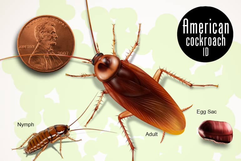 American cockroach adult, nymph, and egg sac beside penny for scale