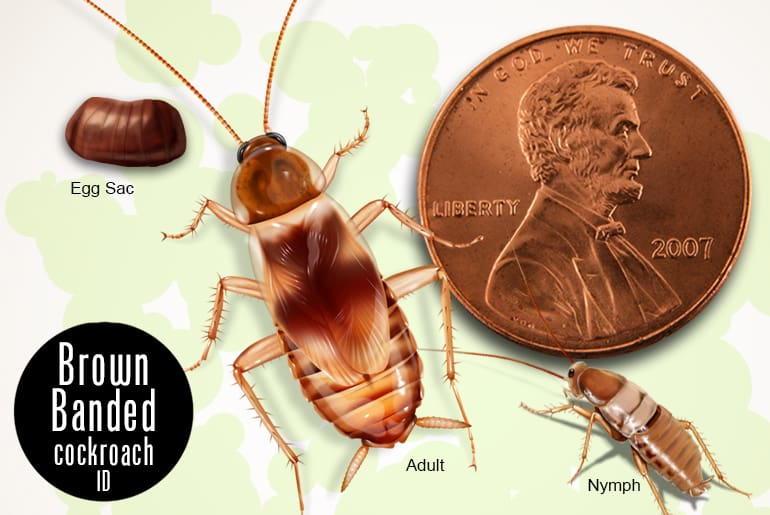 Brown Banded cockroach adult, nymph, and egg sac beside penny for scale