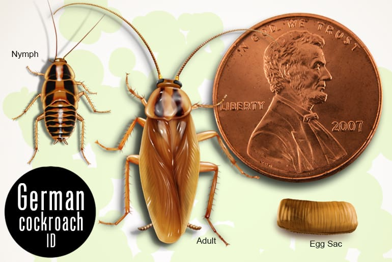 German cockroach nymph, adult, and egg, compared to a penny for size