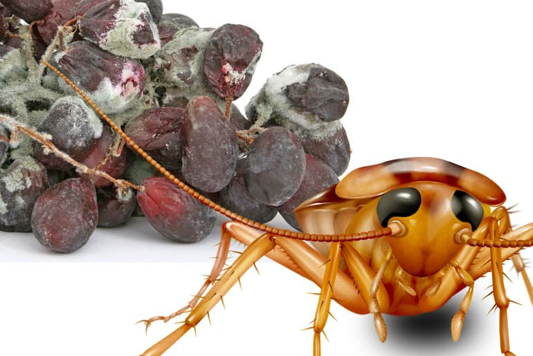 Illustration of cockroach in front of a bunch of rotten, moldy grapes