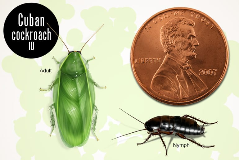 Cuban cockroach identification: adult and nymph beside penny for scale