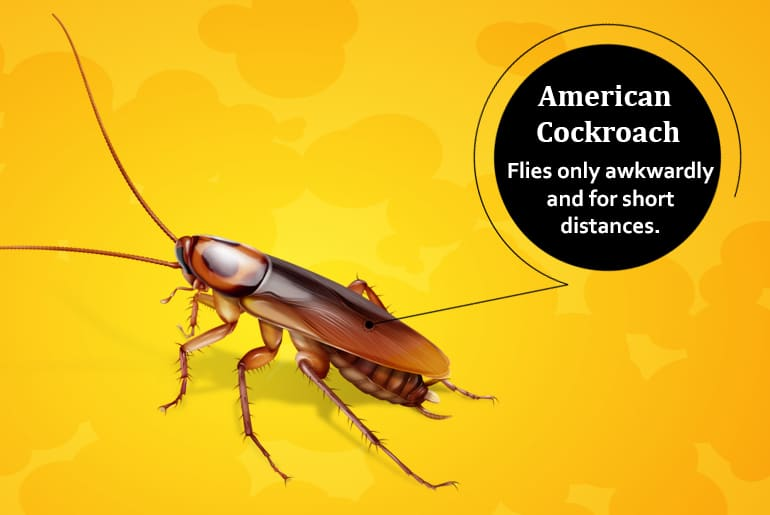 American cockroach illustration with label: Flies only awkwardly and for short distances.
