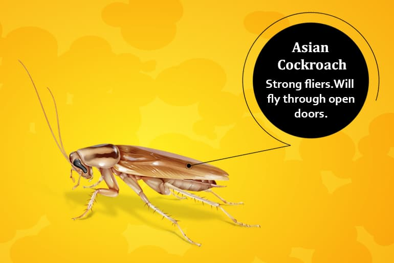 "Asian cockroach illustration with label: ""Strong fliers.Will  fly through open doors."""