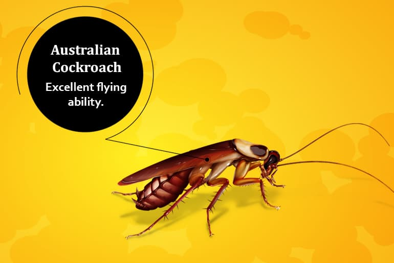 "Auatralian cockroach illustration with label: ""Excellent flying ability."""