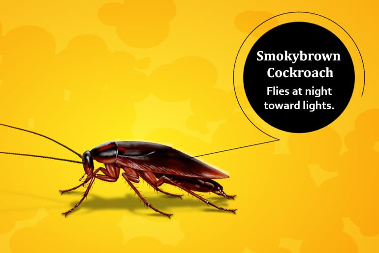 """Smoky brown cockroach illustration with label: """"Flies at night toward lights."""""""