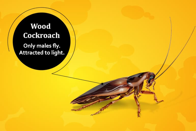 "Wood cockroach illustration with label: ""Only males fly. Attracted to light."""