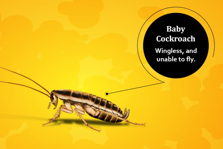 """Baby cockroach illustration with label: """"Wingless, and unable to fly."""""""