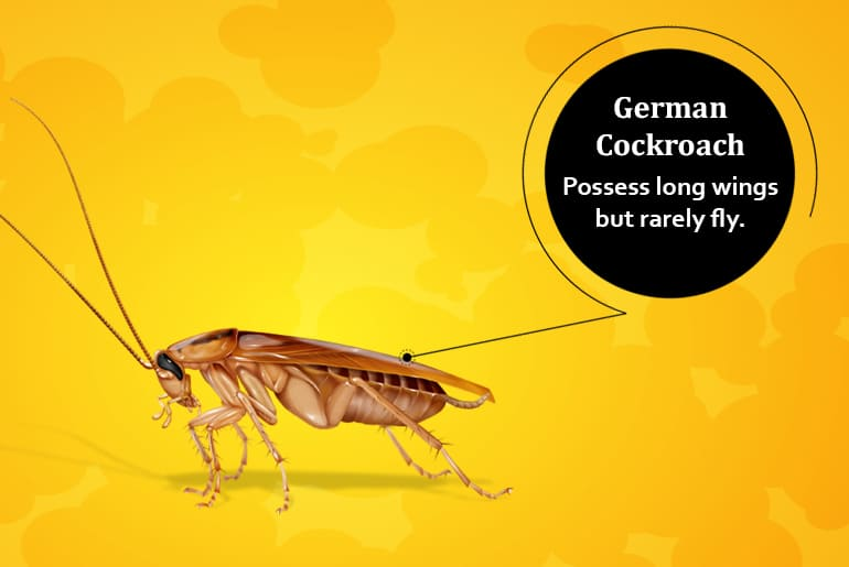 "German cockroach illustration with label: ""Possess long wings but rarely fly."""